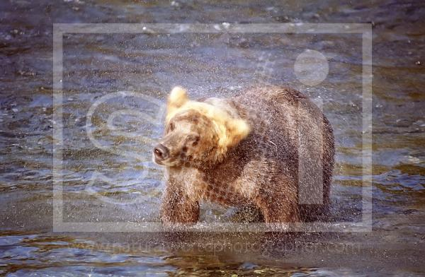 Brown Bear Shaking Itself Dry