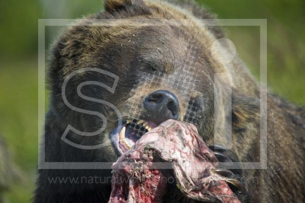 Brown Bear Feeding