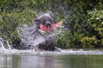 Brown Bear Shaking Salmon