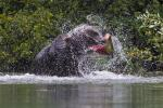 Brown Bear with Spray and Salmon