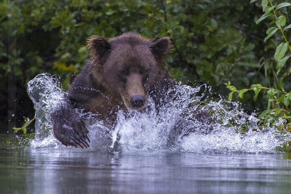 Brown Bear Crashing Through Water