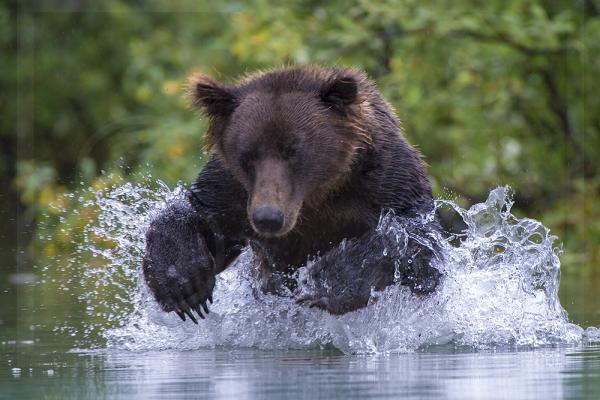 Brown Bear Pouncing