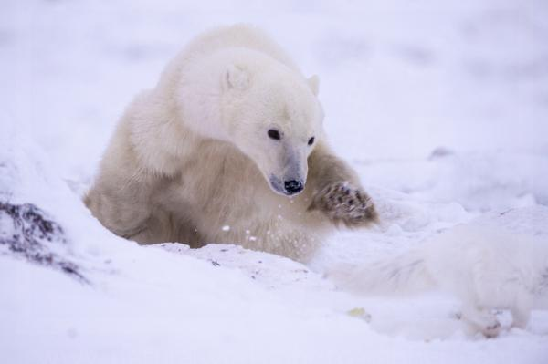 Polar Bear Swiping at an Arctic Fox