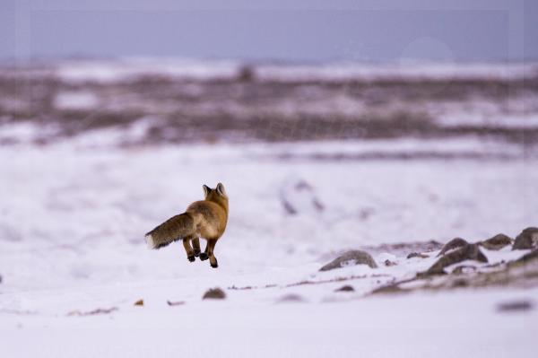 Red Fox Jumping