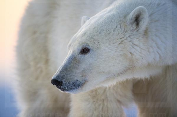 Male Polar Bear Portrait