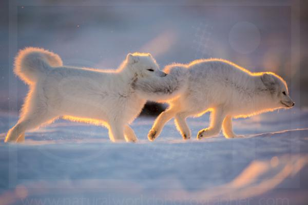 Arctic Foxes in Dawn Light