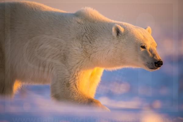 Dawn Polar Bear