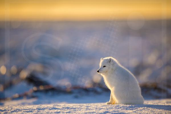 Arctic Fox at Dawn