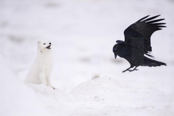 Raven and Arctic Fox Encounter