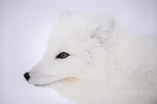 Arctic Fox Profile