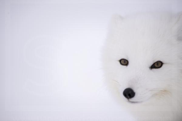 Arctic Fox Face