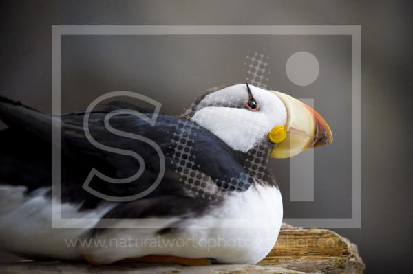 Horned Puffin Resting
