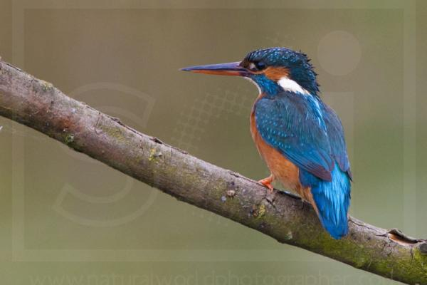 Female Kingfisher Portrait