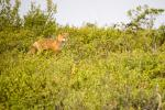 Red Fox in the Tundra