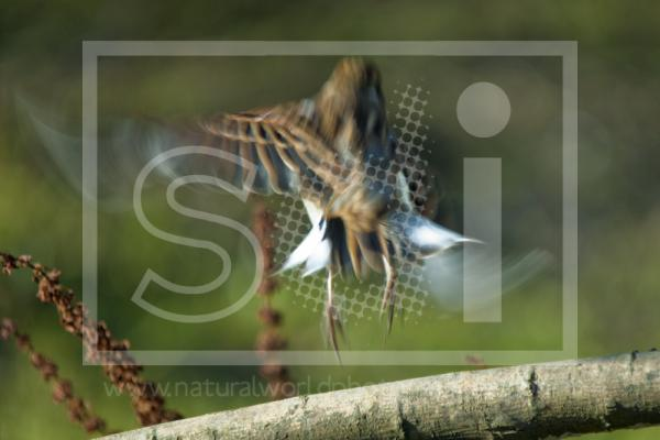 Reed Bunting Taking Off
