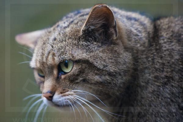 Scottish Wildcat portrait