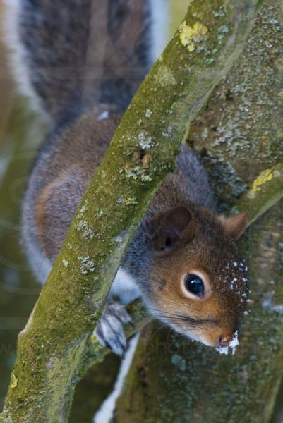 Winter Grey Squirrel