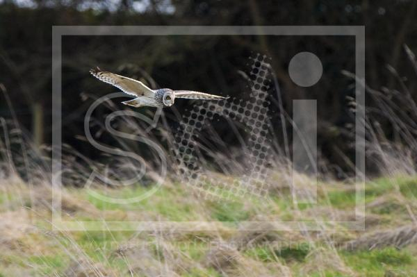 Short Eared Owl Flying