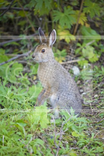 Snowshoe Hare on Hind Legs