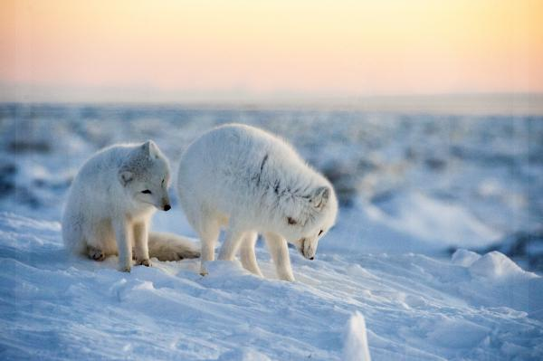 Arctic Fox Siblings