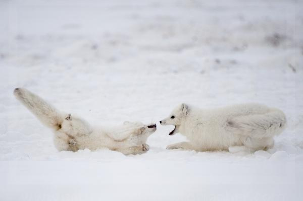 Arctic Fox Confrontation
