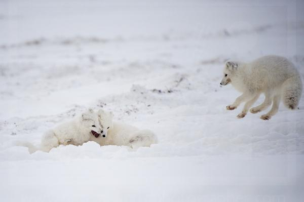 Arctic Fox Siblings Playing