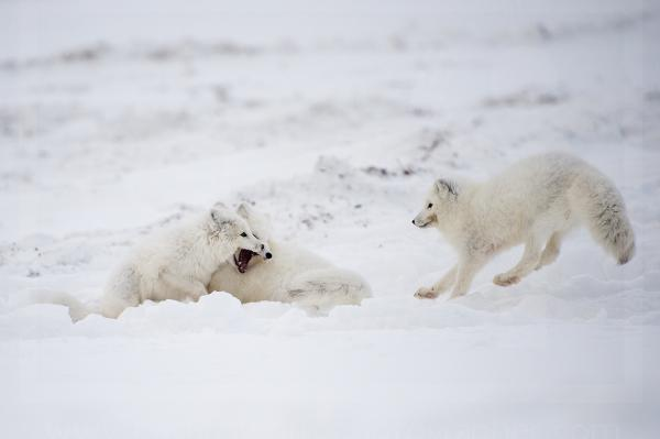 Arctic Foxes Play Fighting