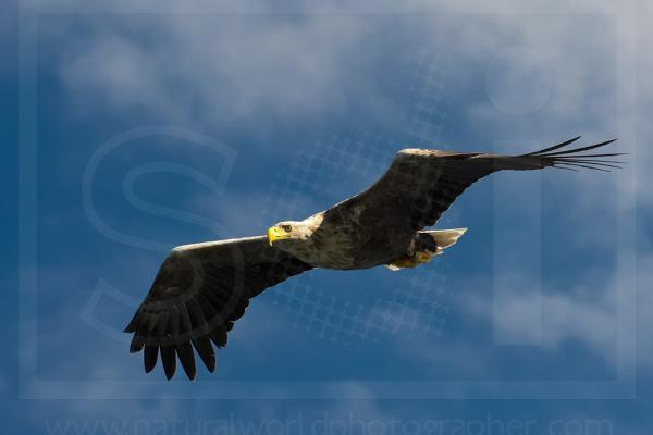 White Tailed Eagle Soaring