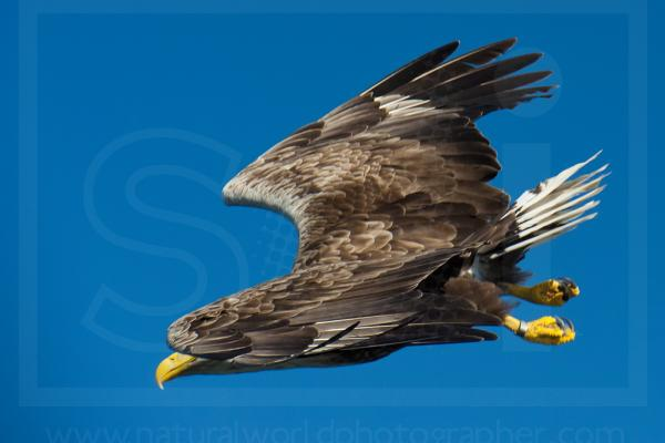 White-Tailed Eagle Swooping