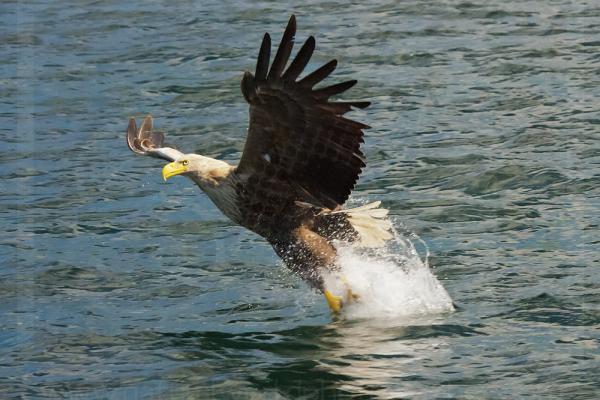 White-Tailed Sea Eagle Snatching Fish
