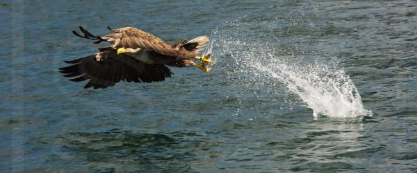 White-Tailed Eagle Snatching Fish